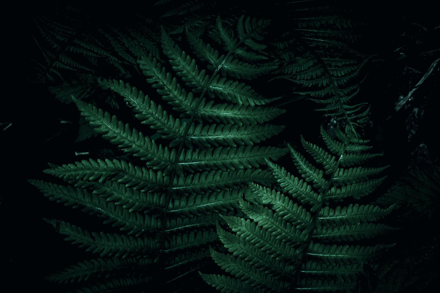 Dark and Moody Image of Fern