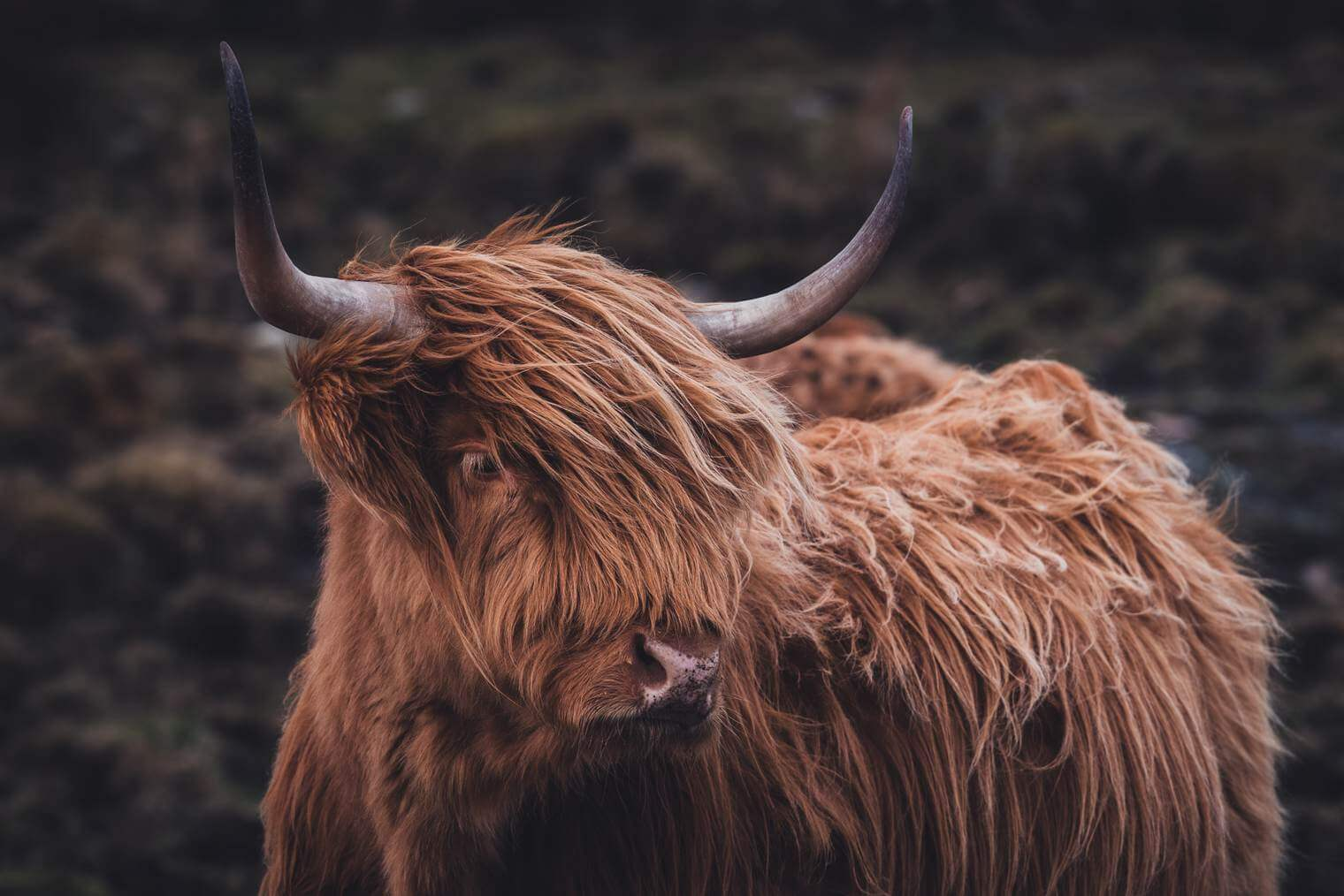 Scottish Highland Cattle in Moody Tones